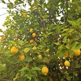 lemon trees kids Greece farm