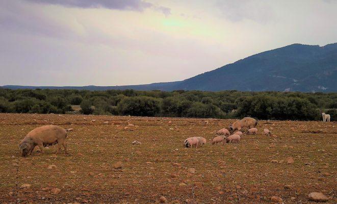 Olympos mountain Greece kids pigs farm