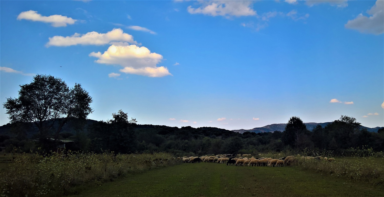 peloponnese kids greece sheep