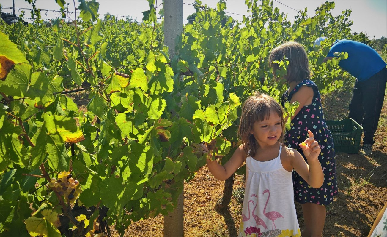 grape harvest family Greece