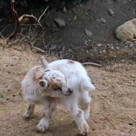 animals goat Greece farm