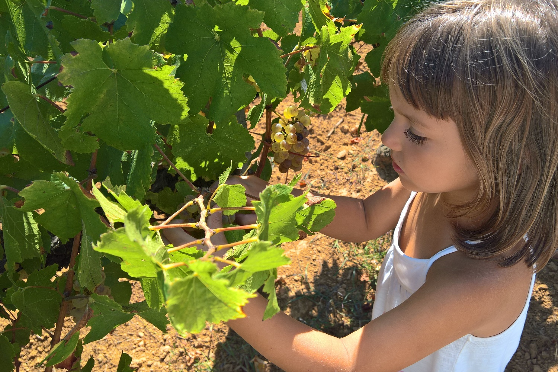 kid messinia vineyards grape harvest