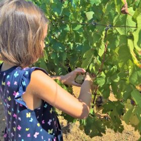 kid grape harvest vineyards greece