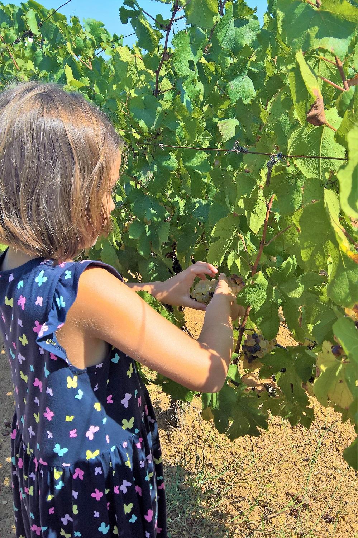 kid grape harvest vineyards greece