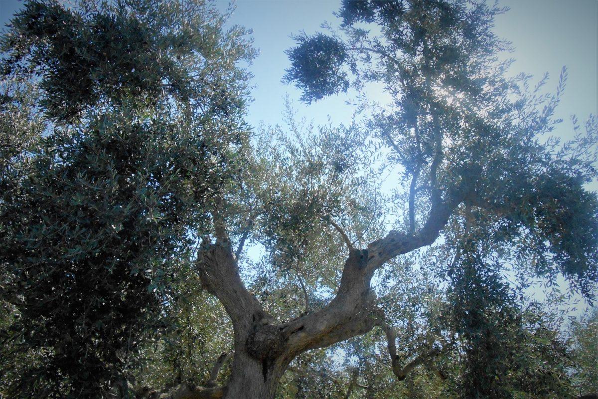 olive grove messinia historic tour