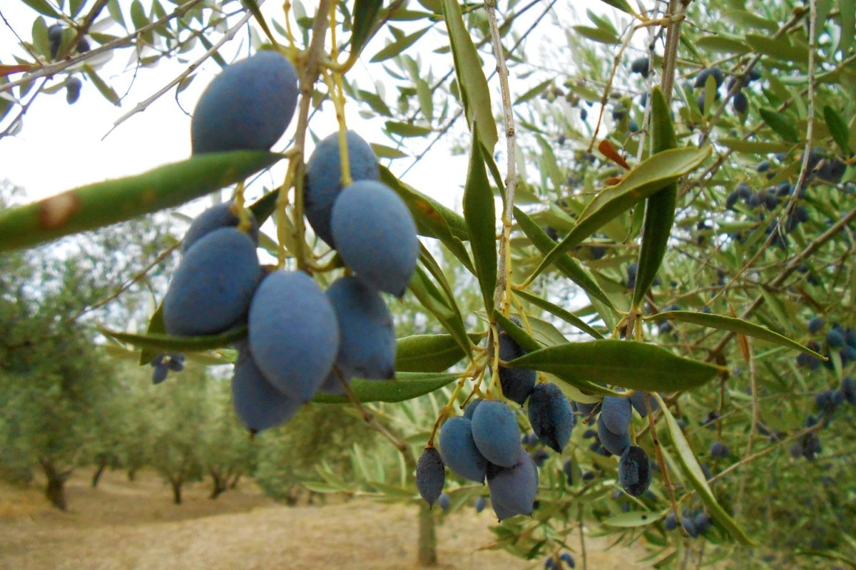 olive grove messinia historic tour