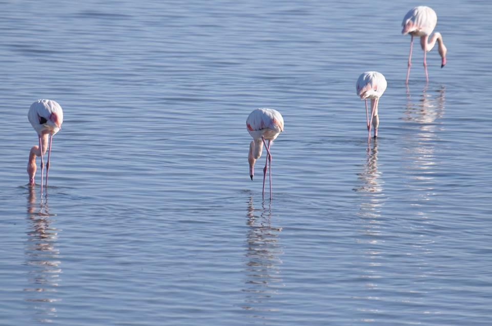 flamingos northern greece eco