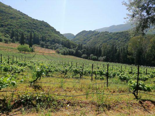 vineyards Patra Peloponnese