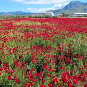 poppies ancient corinth peloponnese