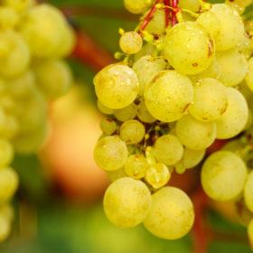 grapes vineyard crete