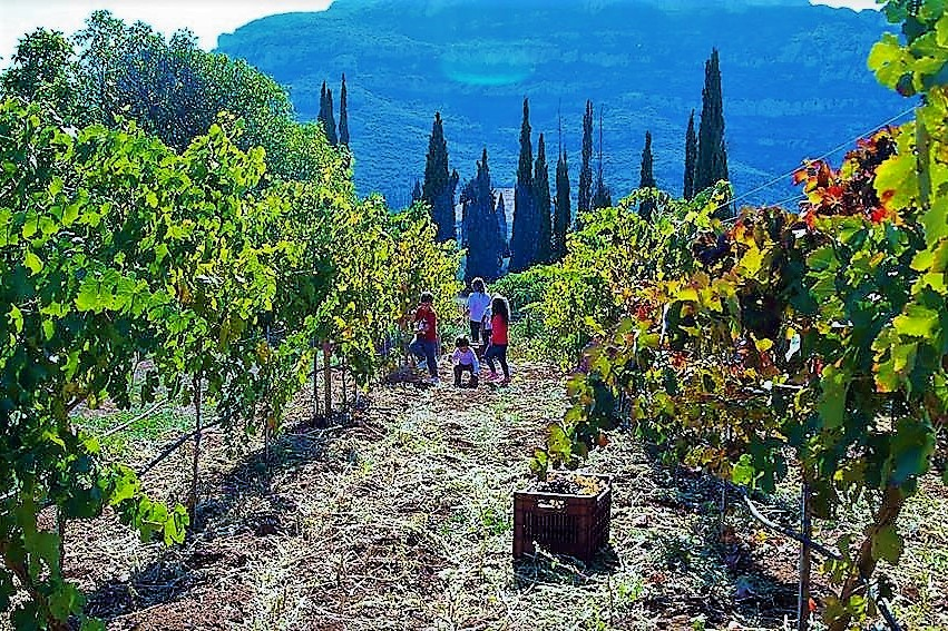 vineyards harvest wine tourism Greece