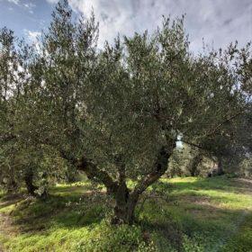 olive grove tour messinia
