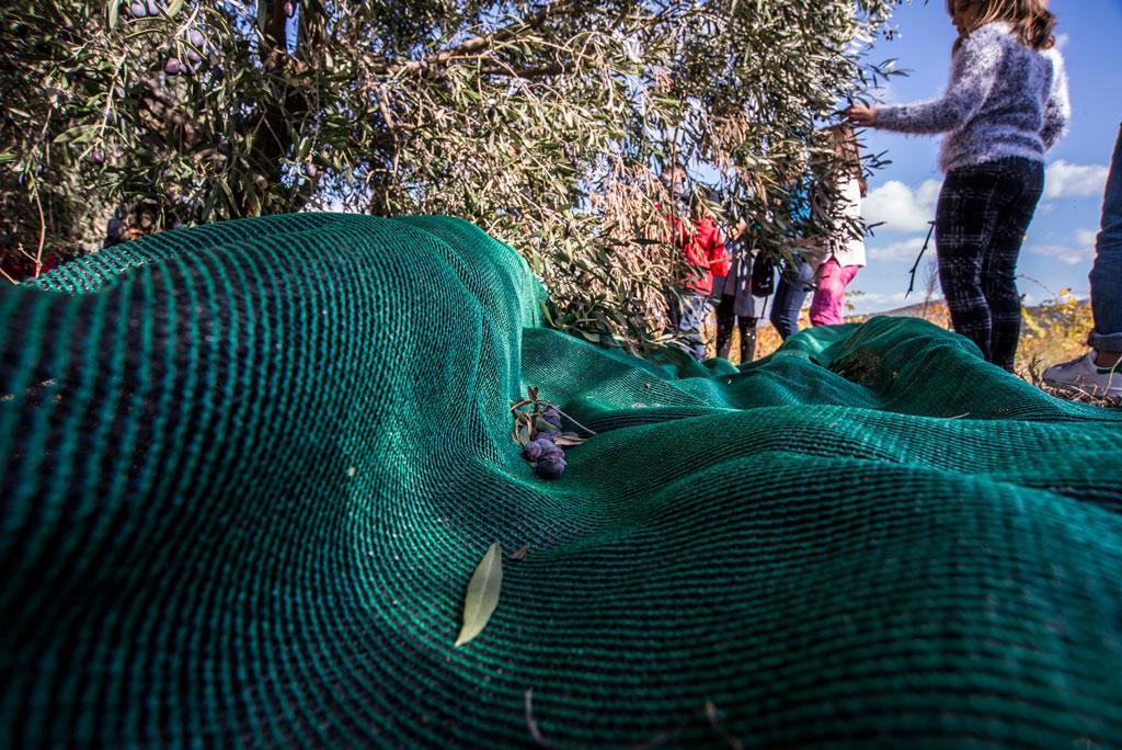 athens farm marathon olive