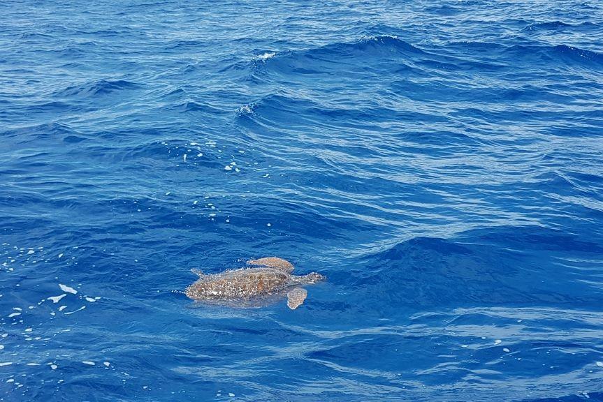 snorkeling sea cruise Cyclades sea turtle